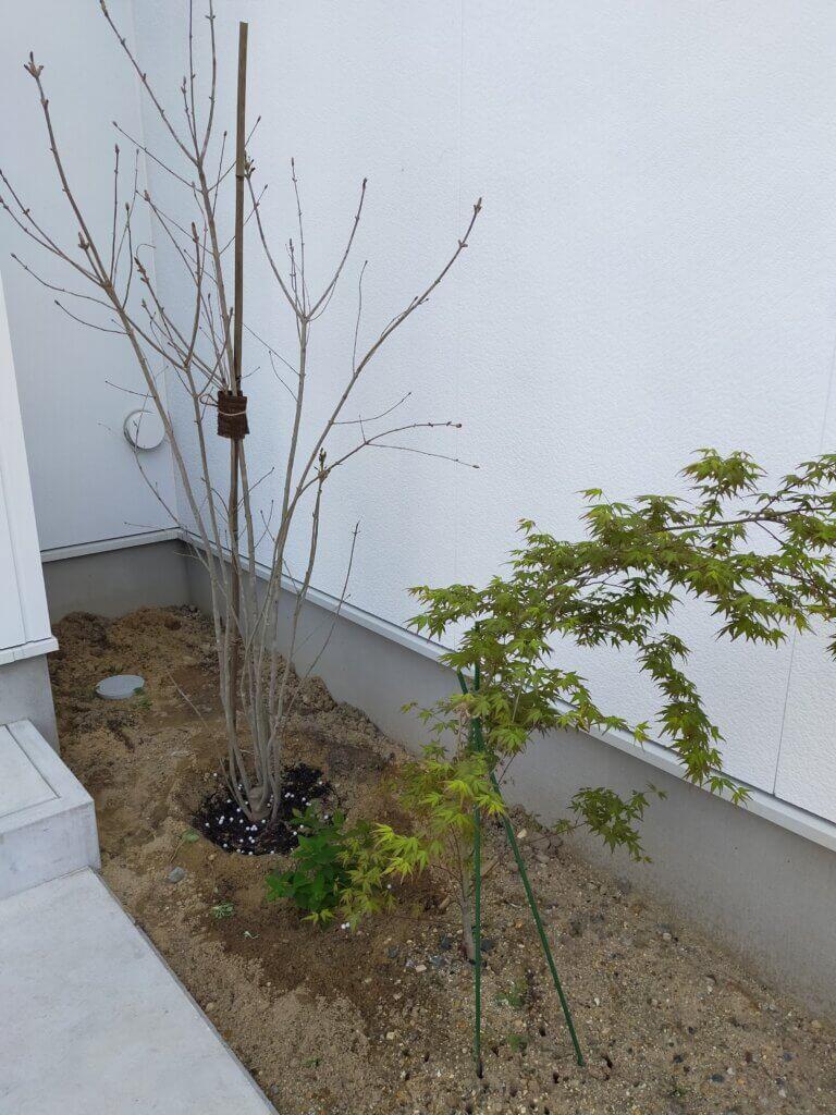DIYで植えた直後のネット通販で購入したアオダモ