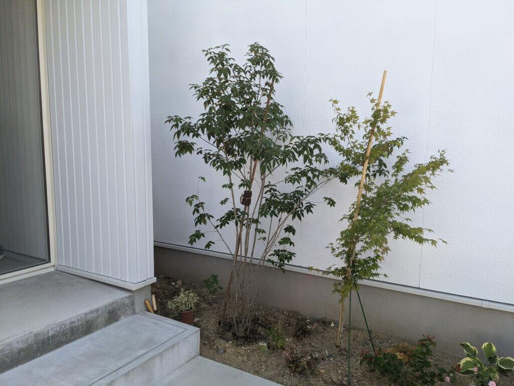 DIYで植えて2ヶ月後のネット通販で購入したアオダモ