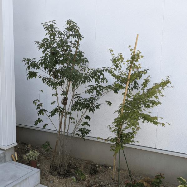 アオダモを植えて約2か月